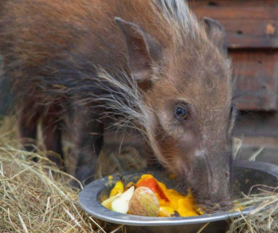 Bushpig is rehabilitated and released by HESC