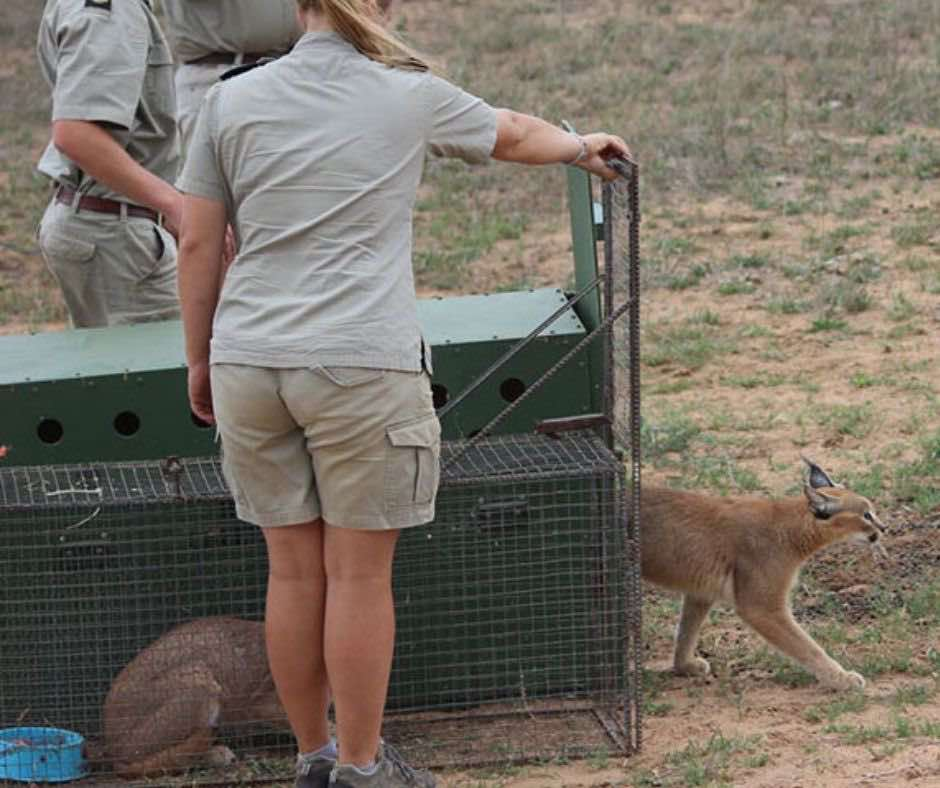 Two caracals released by HESc