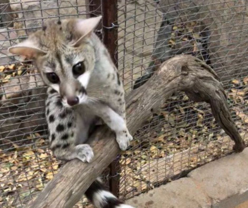 Small Spotted Genet Cats Soft Release