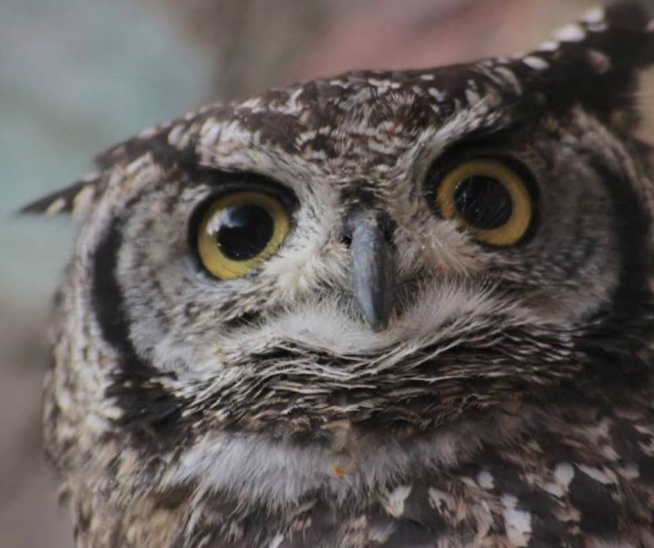 Merlin the Owl with one wing
