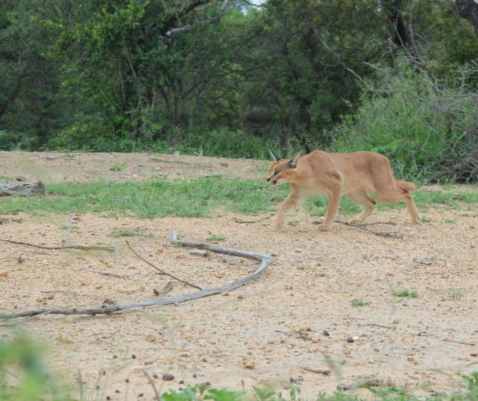 Pepper-Caracal-Cat-released