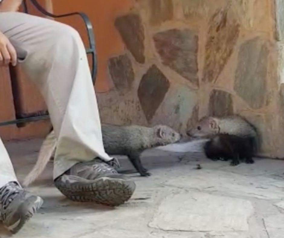 Two White-tailed-mongooses-hesc