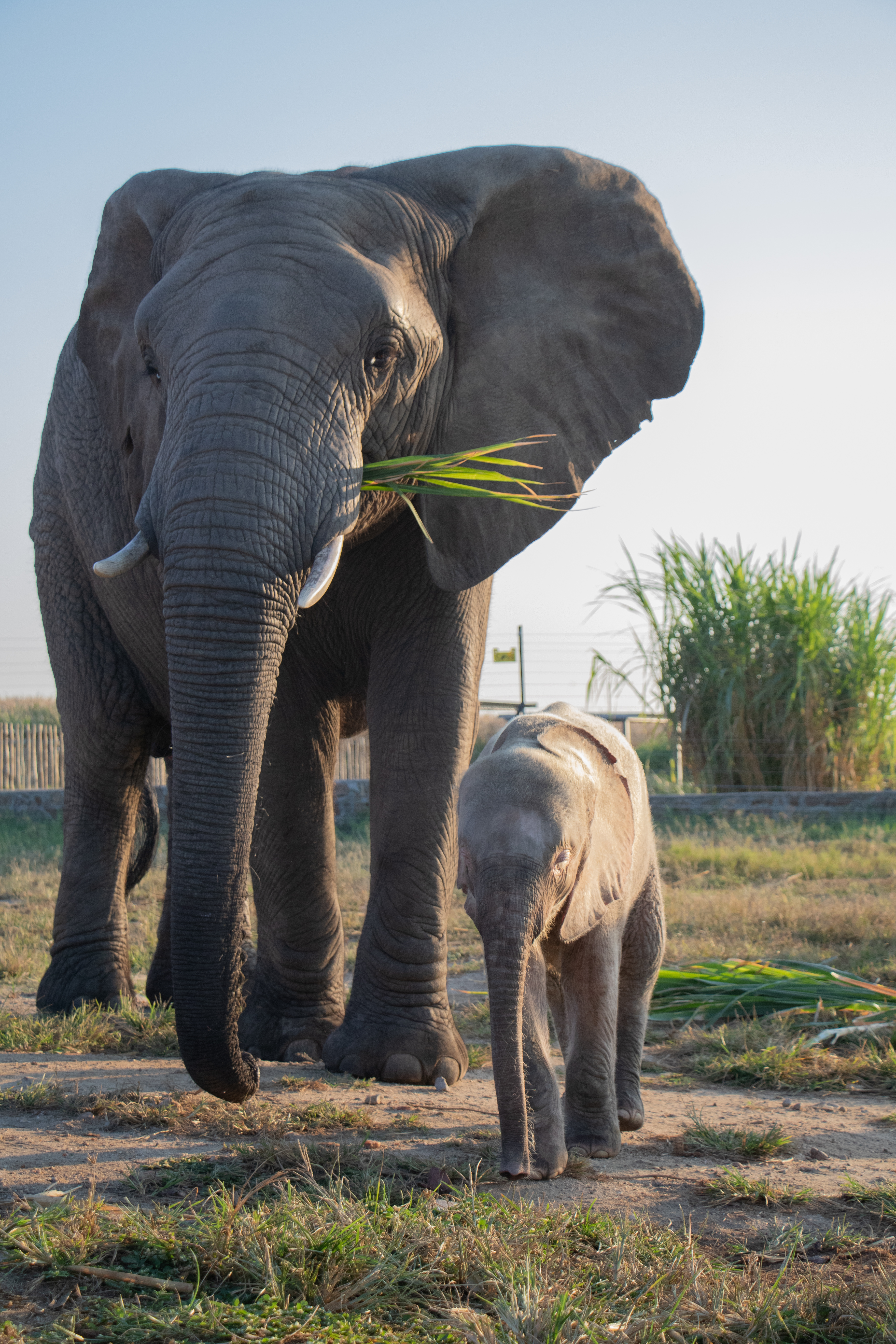 Khanyisa_orphaned_albino_elephant_and_Jabulani